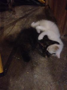 Kitten Wrestling